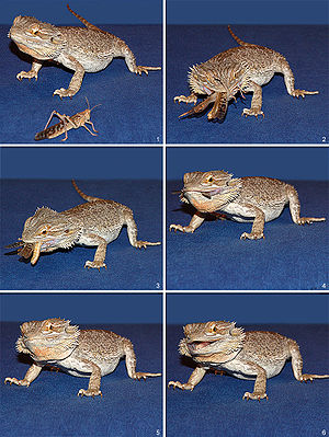 beginners guide to bearded dragons
