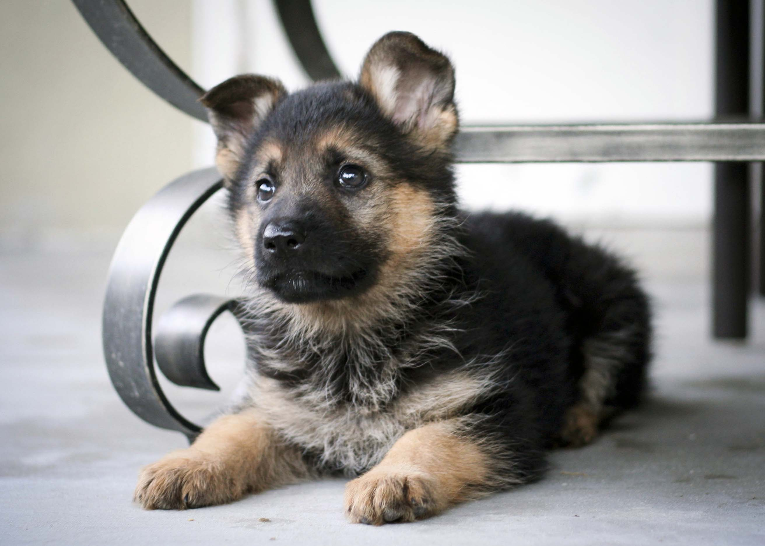 german shepherd guide dogs for the blind