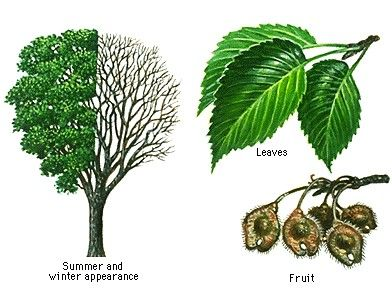 tree bark identification guide pictures