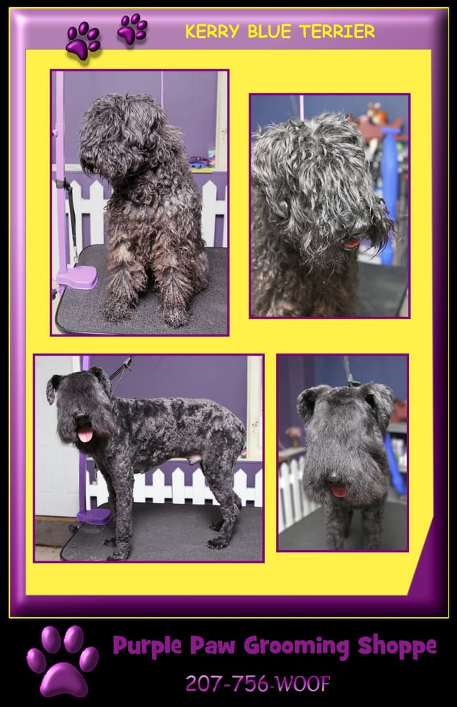 kerry blue terrier grooming guide